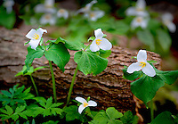 Close up of three Western Trilliums (trillium ovatum). Tryon Creek State Park, Oregon
