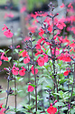Salvia 'Jezebel', mid August. A recently introduced hybrid from Robin Middleton producing good-sized, cherry-red flowers continuously from May to November.