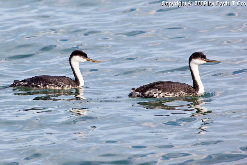 Western Grebe, Sea of Cortez, Baja, Mexico