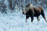 Cow moose eats shrubs covered with Hoarfrost on trees and shrubs at Potter Marsh State Game refuge. Winter Southcentral, Alaska<br /> <br /> <br /> Photo by Jeff Schultz/  (C) 2020  ALL RIGHTS RESERVED