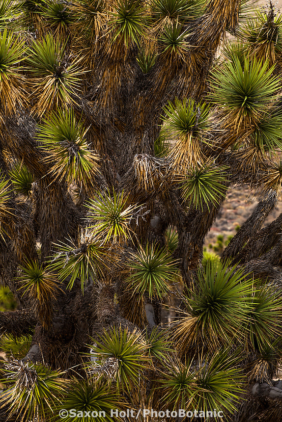 Joshua Tree succulents, Yucca Palm (Yucca brevifolia), Mojave Desert in Southern California