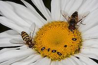 Schwebfliegen und Rapsglanzkäfer, Rapskäfer als Blütenbesucher. Rapsglanz-Käfer, Meligethes aeneus, Brassicogethes aeneus, pollen beetle, Glanzkäfer, Nitidulidae. Rechte Schwebfliege: Keilfleckschwebfliege, Keilfleck-Schwebfliege, Lange Bienen-Schwebfliege, Lange Bienenschwebfliege, Männchen, Eristalis pertinax, drone fly, Tapered Drone Fly. Linke Schwebfliege: Garten-Schwebfliege, Weibchen, Syrphus spec.,
