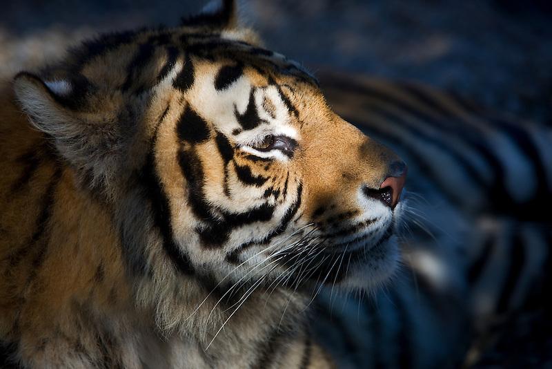 Bengal tiger. West Coast Game Park. Oregon