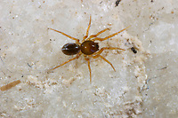 Zwergsechsaugenspinne, Zwergsechsauge, Ischnothyreus velox, Oonopidae, Zwergsechsaugenspinnen, Zwergsechsaugen