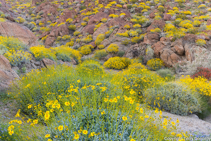 Anza-Borrego Desert State Park, CA: Flowering brittlebush (Encelia farinosa) and creosote bush (Larrea tridentata) nestled against sandstone boulders and hilllside of Glorieta Canyon