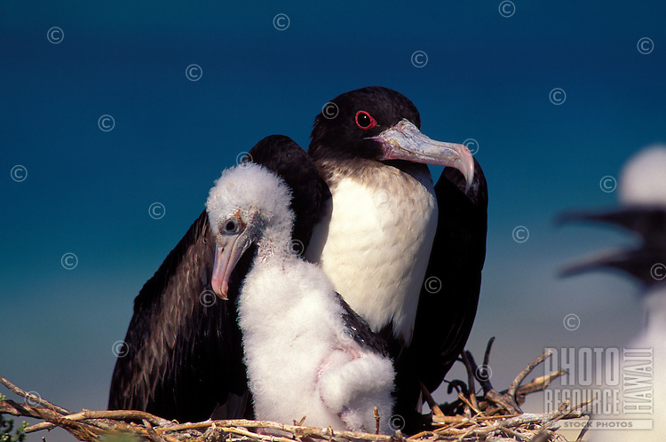 Great Frigatebird-female- with chick on Tern I. French Frigate Shoals.