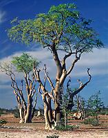 Moringa Trees, Haunted Forest, Etosha National Park, Africa   Trees on large plain