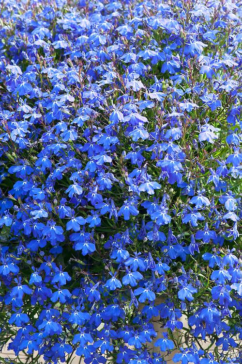Lobelia erinus [Blue Star] = 'Wesstar' (Star Series), Westhoff Vertriebsges, RHS Wisley container lobelia trial June 2011.