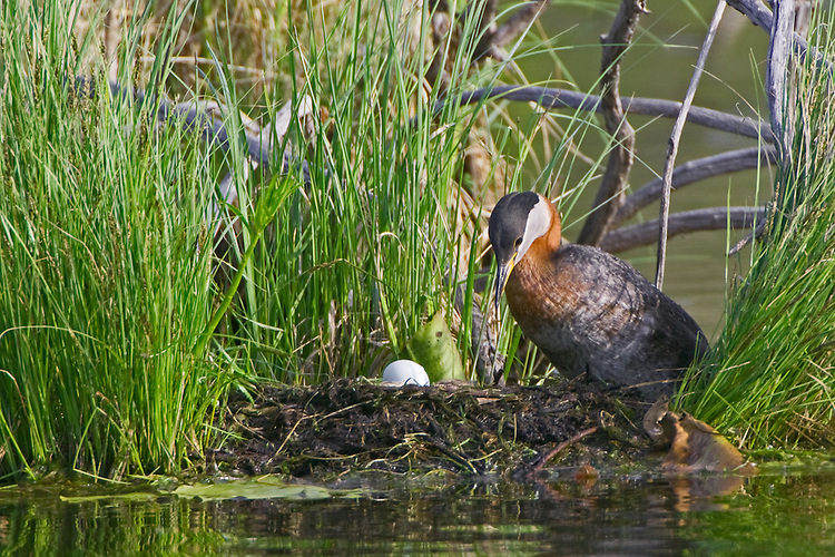 Red-necked Grebe tending a freshly layed egg