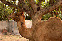 Camel standing under tree with the trunk of the tree looking identical to the neck of the camel
