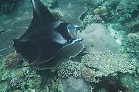 Manta ray entangled in longline, Manta alfredi, Sangalaki, Sabah, Borneo, Malaysia, Pacific Ocean