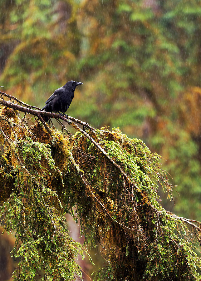 An American Crow stands on a tree branch in the rain, Anan Wildlife Observatory, Tongass National Forest, Southeast, Alaska
