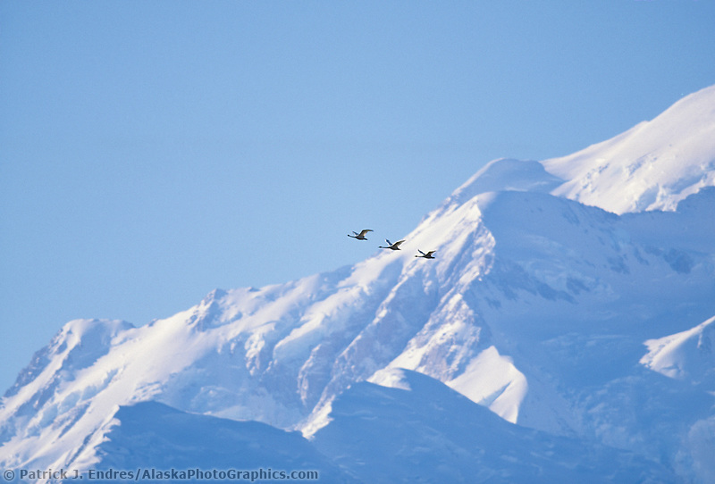 Three snow geese fly past Pioneer ridge on North America's highest mountain, autumn, Denali National Park, Alaska