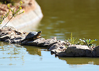 Stock image - Tortoise crossing a lake walking over a stone bridge, in Paphos zoo, Cyprus.<br /> <br /> (For editorial use only)