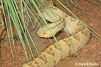 0511-1106  Neotropical Rattlesnake (South American Rattlesnake), Crotalus durissimus  © David Kuhn/Dwight Kuhn Photography