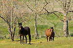 Dun and bay horses grazing in the pasture in the Sierra Nevada Foothills.