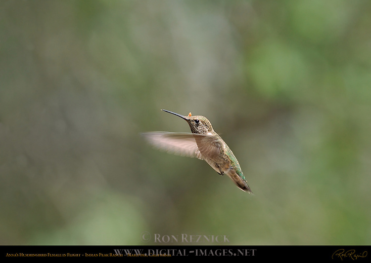 Anna's Hummingbird Female in Flight, Indian Peak Ranch, Mariposa, California