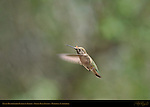 Anna's Hummingbird Female in Flight, Indian Peak Ranch, Mariposa, California