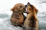 Alaskan brown bears spar