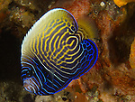 Da Xia Gu ('Grand Canyon'), Green Island -- Juvenile emperor angelfish. This individual is an adolescent, as clearly seen by the change in color of it markings. The juvenile fish has white concentric rings on blue/black background, while the adult shows blue lines on a yellow background.