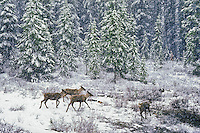 Woodland Caribou: Mountain Caribou ecotype (Rangifer tarandus caribou) during sudden Spring snowfall in the Rocky Mountains of Jasper National Park, Alberta, Canada. Mountain Caribou are considered to be the most endangered large mammal in lower 48 states of U.S.A. and a threatened species in Canada.
