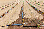 Drip irrigation, vegetable field in western Oregon.  47th Avenune Farms, a Community Supported Agriculture organic farm.