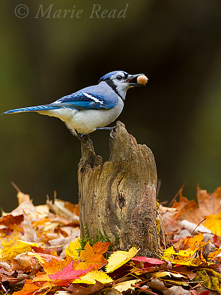 Blue Jay (Cyanocitta cristata) carrying acorn in its bill, perched on stump in autumn, New York, USA
