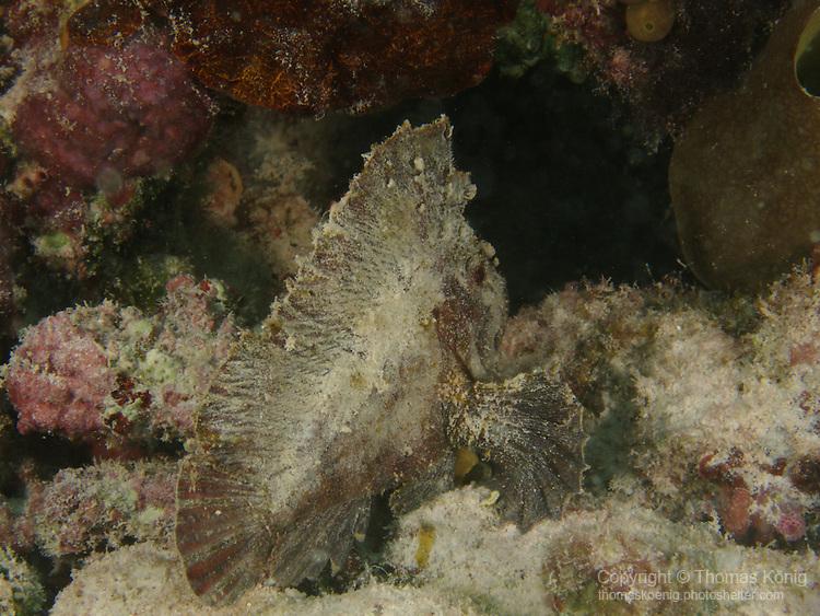 Big Drop-Off, Palau -- Leaf Scorpionfish on rubble.