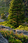 Sunset light on pine tree forest and rock outcrop, Sequoia National Park, California