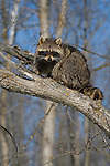 Raccoon (Procyon lotor) sitting on a tree branch