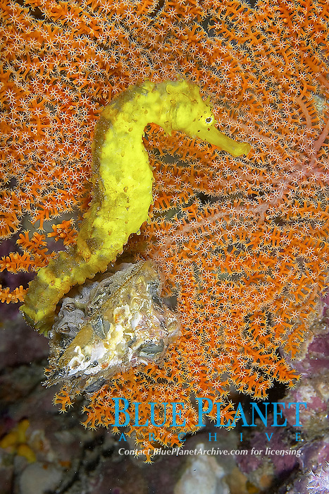 Tiger tail seahorse hippocampus comes curled around the edge of a sea fan, Richelieu rock, Andaman Sea, Indian Ocean, Thailand, Asia