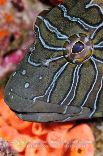 QT6471-D. Giant Hawkfish (Cirrhitus rivulatus). Baja, Mexico, Sea of Cortez, Pacific Ocean.<br /> Photo Copyright &copy; Brandon Cole. All rights reserved worldwide.  www.brandoncole.com