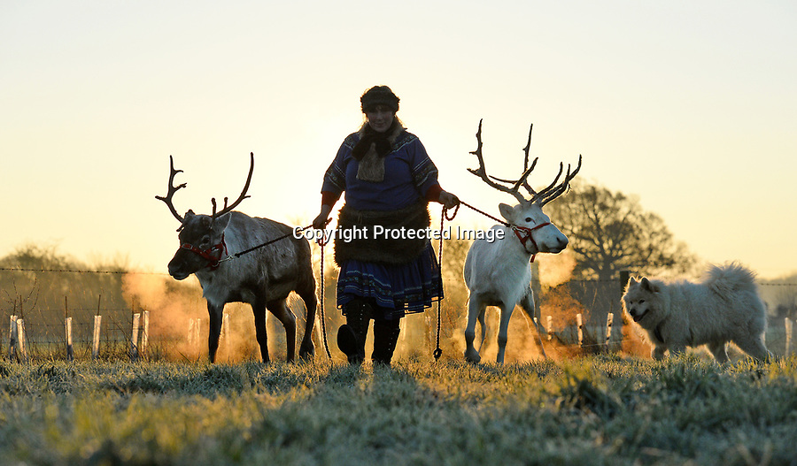 BNPS.co.uk (01202 558833)<br /> Pic: ZacharyCulpin/BNPS<br /> <br /> Sarah Sutton takes her reindeer and Snowdog, Alaska for amorning run around during a freezing sunrise this morning (Wednesday) at her the Somerset Reindeer Ranch in Chilthorne Domer.<br /> <br /> Sarah wears traditional Greenland dress and takes the reindeer to†educational visits to schools and care homes throughout the South West as well as providing Christmas Reindeer experiences at her Chilthorne Domer ranch.