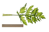 Echter Pastinak, Pastinake, Hammelsmöhre, Pastinaca sativa, parsnip, Le panais cultivé. Blatt, Blätter, leaf, leaves