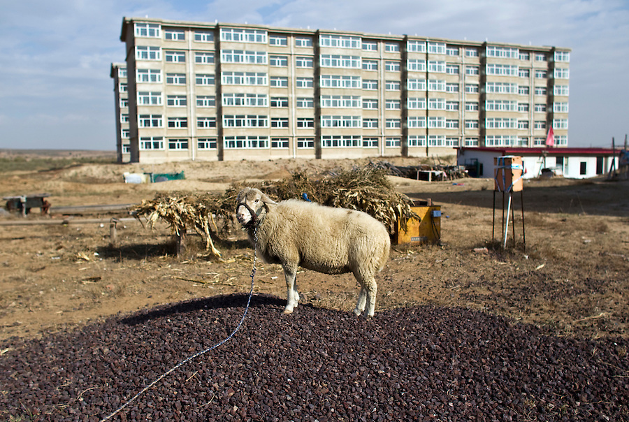 A sheep is seen at the abandoned construction site of Qingshuhe, Inner Mongolia. The city government planned a massive building bonanza, but quickly ran out of funds and the project has become a ghost town, used occasionally by herders.