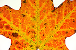 Close-up of a Maple Leaf, color changed to orange in the fall, illuminated on a white background