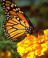 Monarch butterfly resting on Marigold blossom.  St Paul Minnesota USA
