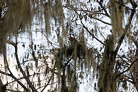 Moss laden trees with a hint of sunshine radiating from the sky. Located in the Arthur Marshall Loxahatchee Preserve Cypress Swamp, Boynton Beach, Florida.