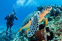 woman scuba diver, Karen Straus, photographing a hawksbill sea turtle, Eretmochelys imbricata, on Palancar Reef, Cozumel, Mexico, Caribbean Sea, Atlantic Ocean