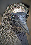 Close up of a BLUE-FOOTED BOOBY, Galapagos Islands