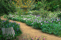 California native plant garden with bench and gravel path, Strybing Arboretum (San Francisco Botanical Garden, Menzies) with Fremontodendron (Flannel Bush) and Iris douglassii (Pacific Iris)