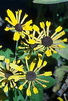 Rudbeckia submentosa Henry Eilers, Sweet Black Eyed Susan, Sweet Coneflower in yellow bloom