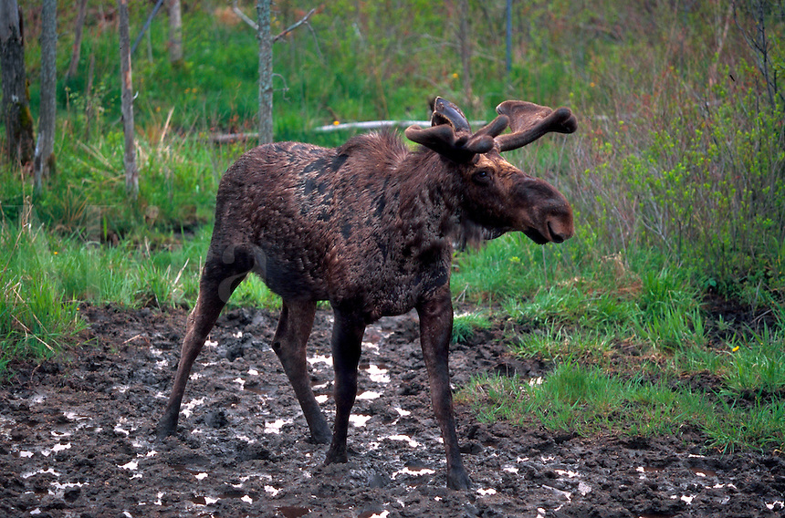 A moose on a dirt path.