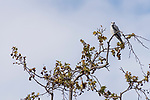 Rose Canyon, San Diego, California; an adult White-tailed Kite (Elanus leucurus) perched on a tree branch