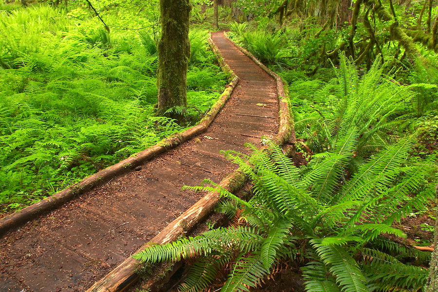 Trail through old growth temperate rain forest, Soleduck River Valley, Olympic National Park, Olympic Peninsula, Clallam County, Washington, USA