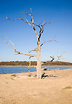 Dead tree standing on the beach bar separating Benacre Broad lake from the North Sea, Benacre, Suffolk, England