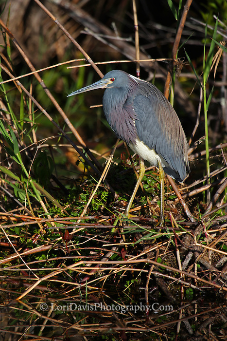 Tricolored Heron #H42