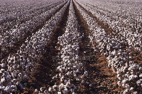 Cotton Plant, Gossypium hirsutum, cotton field, Lubbock, Panhandle, Texas, USA