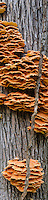 Chicken of the Woods Shelf Fungi or Sulpher Polypores climd a tree in Ryerson Woods Conservation Area in autumn in Lake County, Illinois