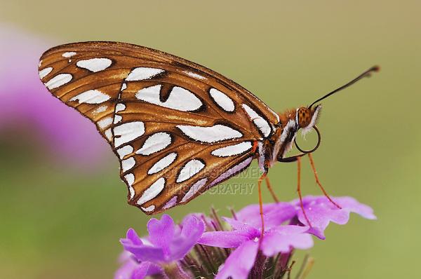 Gulf Frittilary, Agraulis vanillae, adult on Prairie Verbena (Verbena bipinnatifida), Uvalde County, Hill Country, Texas, USA